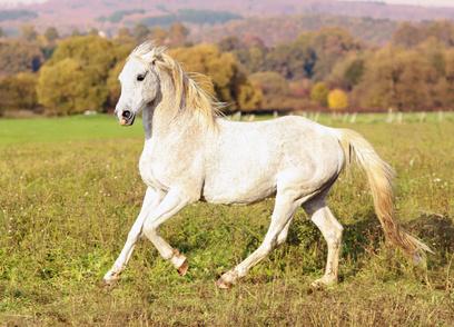 Pferde-OP Versicherung für Araber